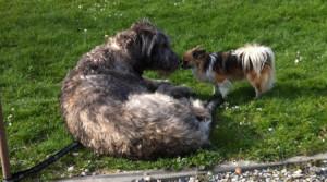 Chihuahua Grizzly blijft nu rustig in de buurt van andere hond