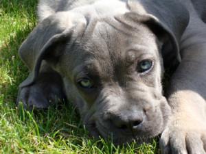 Cane corso Riva volgde de puppycursus